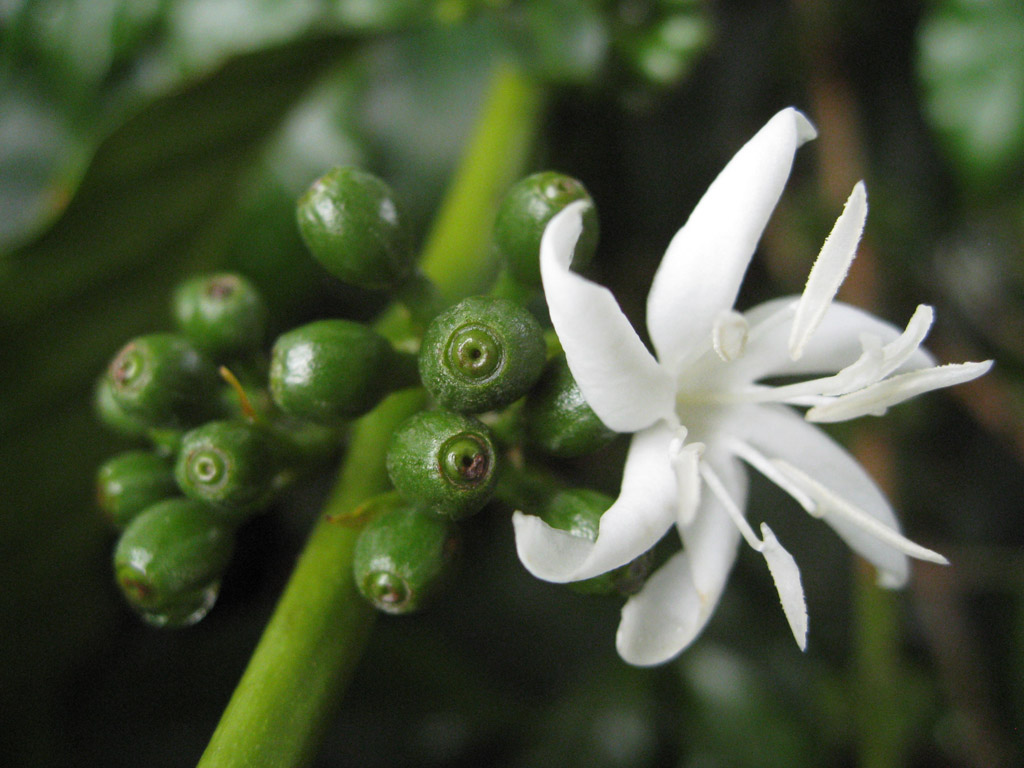 Flowering Coffee Tree