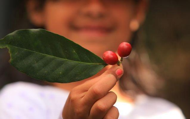 Coffee leaf and berry.