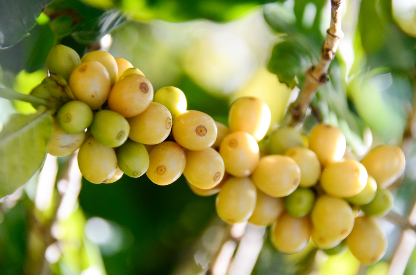 Yellow Caturra Cherries